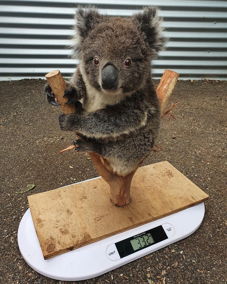 Чтобы малыш коала не боялся, можно замаскировать весы под его привычное место обитания
