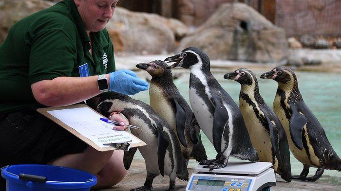 А вот пингвины не доставляют никаких хлопот и даже соблюдают очередь
