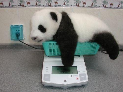 Панды и на взвешивании остаются милыми лежебоками