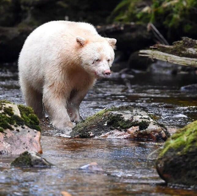 Редкий цвет медвежьего меха
