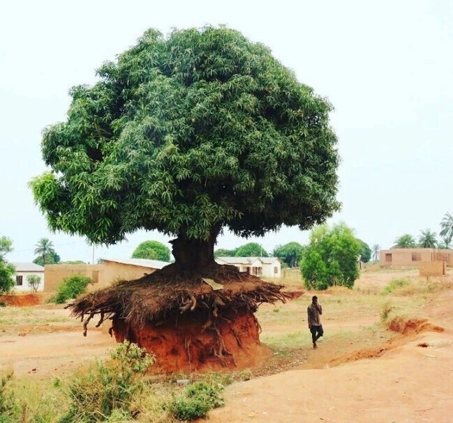 Это дерево в Танзании не боится эрозии почвы
