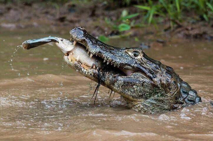 Этот Кайман ловит рыбу-тигра, которая ловит другую рыбу