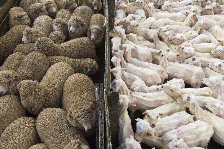 Стадо овец до и после стрижки
