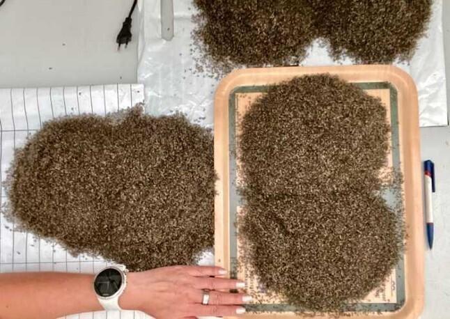 Комаров в Норвегии, оказывается, уже собирают ведрами