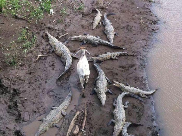 Это вызов крокодилам