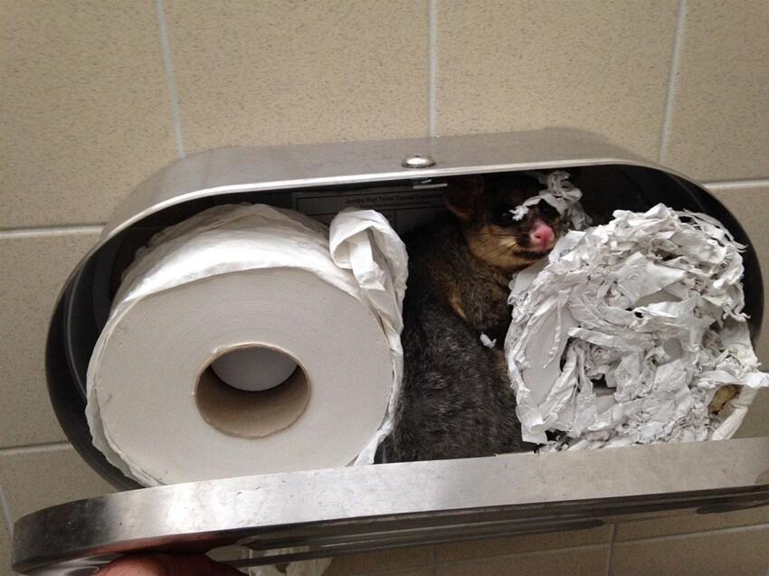 И пару милых зверьков - опоссум свил гнездо в туалетной бумаге