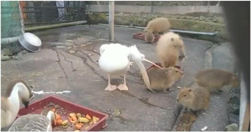 Пеликан не рассчитал свои силы