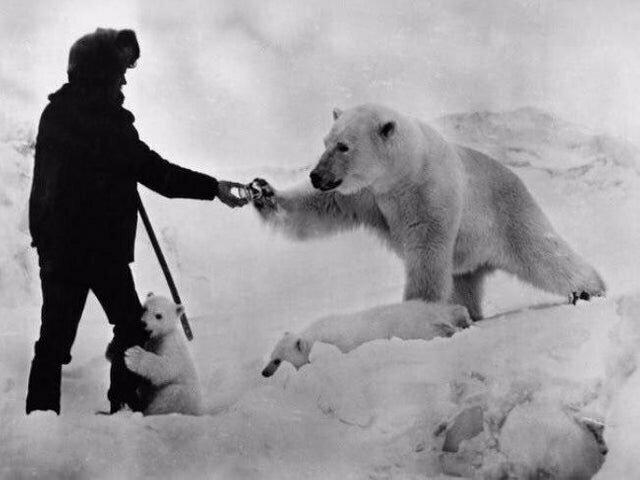 Кормление белого медведя в Арктике, 1960 год