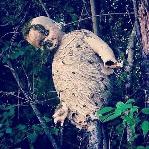 Осы свили построили гнездо вокруг куклы