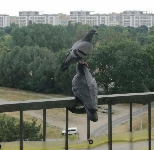 А вот как это выглядит в мире голубей