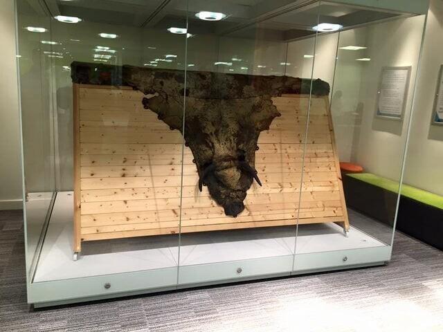 Шкура коровы в музее. Из нее была получена вакцина от оспы