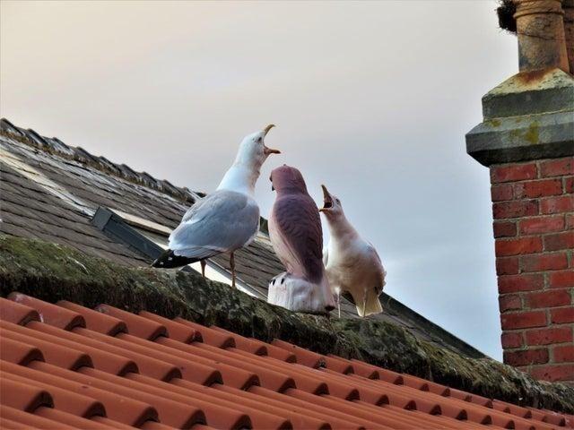 Установил на крыше отпугиватель для чаек - кажется, они подружились