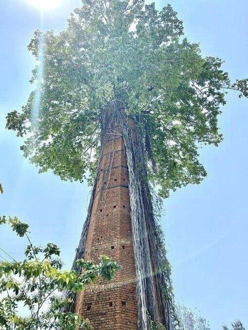 Великий баньян почти полностью поглотил башню