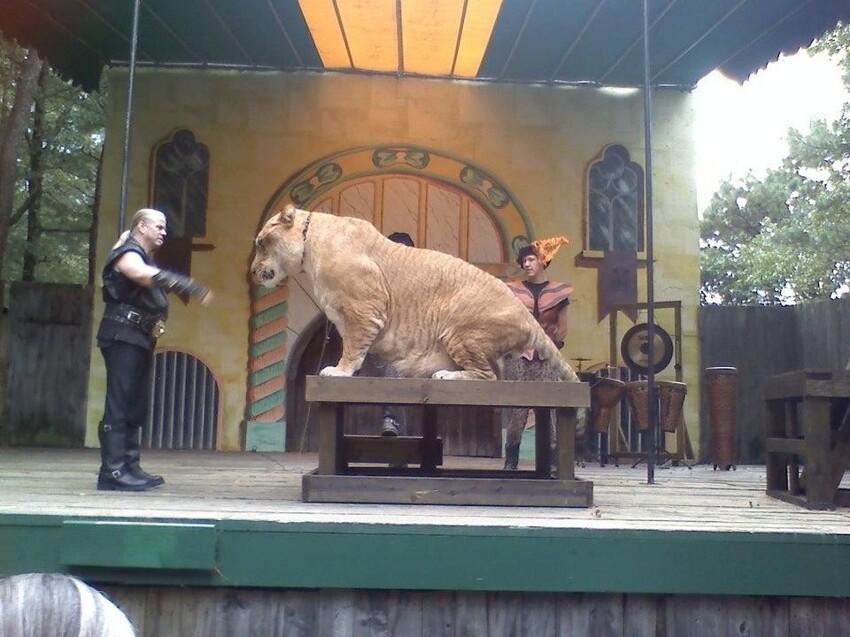 Самая большая кошка в мире - лигр. Гибрид льва и тигра