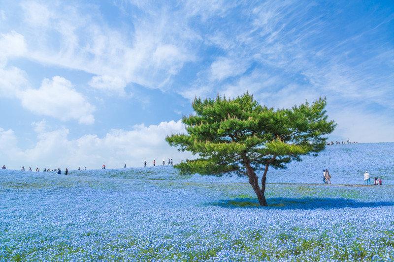 Ковер из голубых немофил в приморском парке Хитачи. Япония, фотограф Хироки Кондо