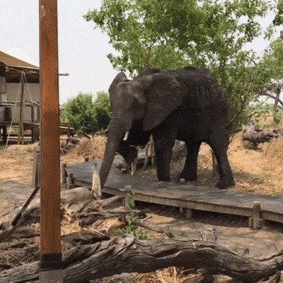 Откуда пошла поговорка про слона в посудной лавке? Поглядите на настоящего слона!