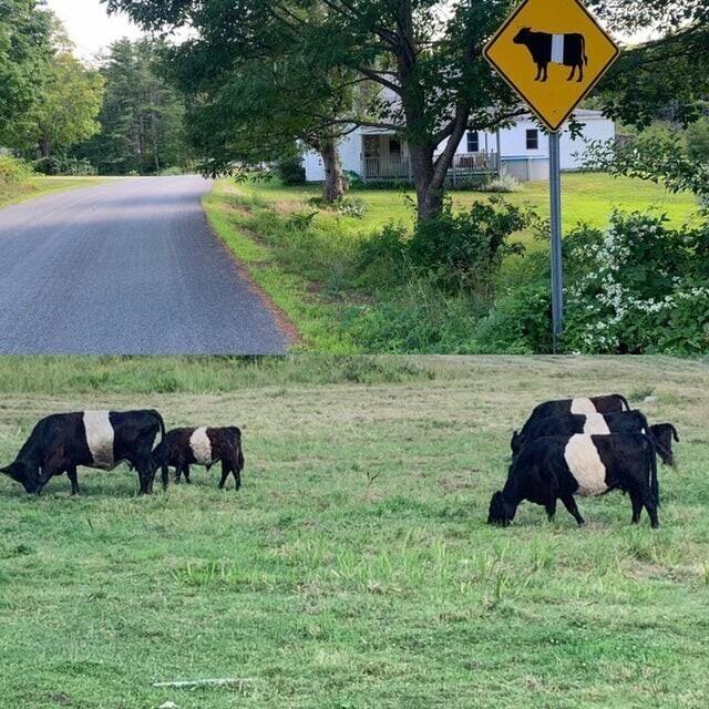Сначала я подумал, что кто-то заклеил вывеску изолентой, но потом увидел коров