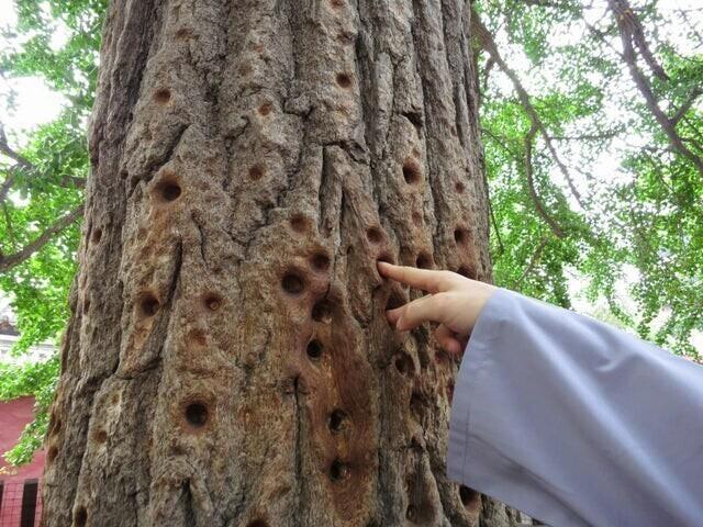 16. Монахи Шаолинь тренировали пальцы в коре дерева. Эти следы остались от них