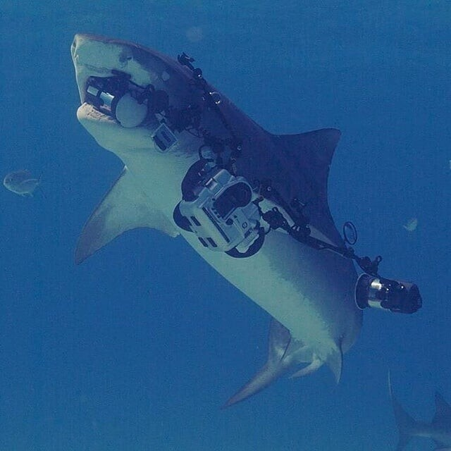 «Когда вы фотографируете тигровую акулу, а она уплывает с вашей камерой»