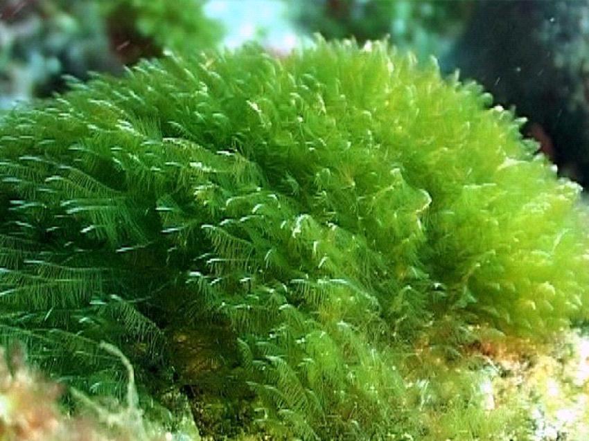 Это спирулина, вдруг кто не знал как она выглядит в природе. ну почти она - ведь зеленых водорослей на самом деле около 30.000 видов, из двух делают спирулину