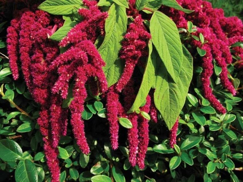 Так выглядит растение амарант, семена которого сегодня тоже в топе здорового питания. Мы его, помню, называли индюшатником, т.к. он похож на отросток, растущий на клюве индюка