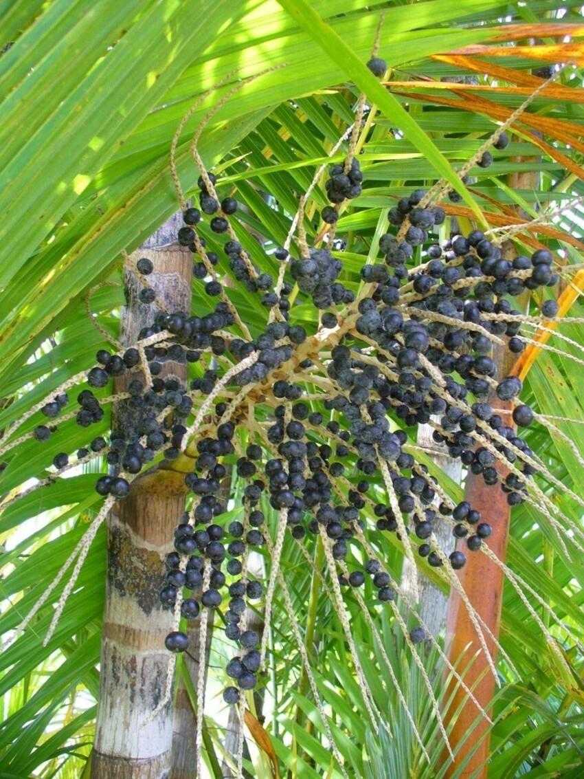 Это модные ягоды асаи -  плоды пальмы Асаи, или Эвтерпа овощная (Euterpe oleracea). Растет в Бразилии