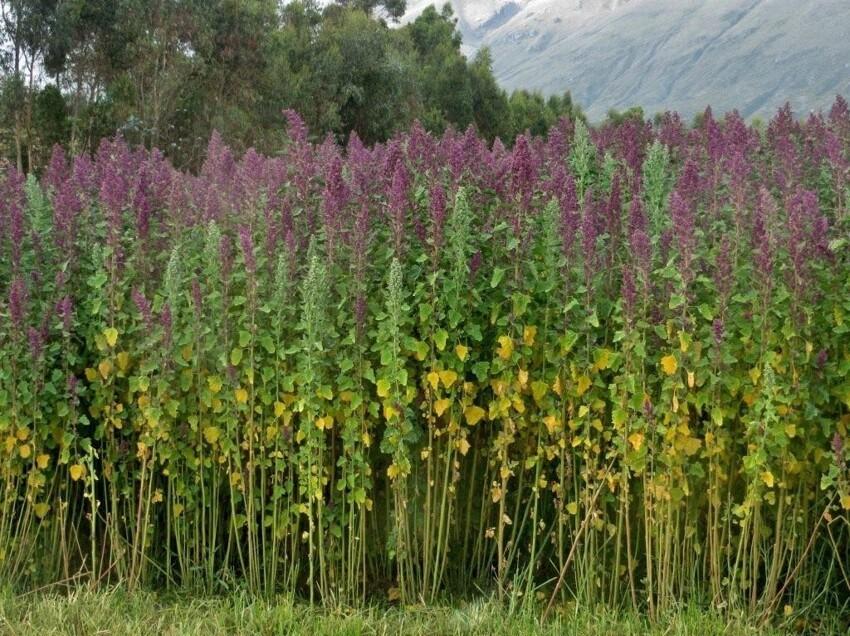 Кстати - семена киноа, также любимые суперфудистами, не что иное как амарант, только другого вида (у амаранта семена серные, у этого белые), но все это амарантовые