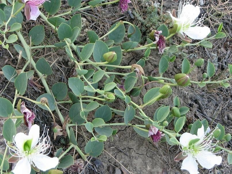 Каперсы — нераспустившиеся бутоны колючего кустарника Capparis spinosa.