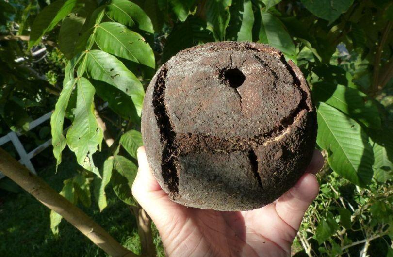 Это такой вкусный заморский орех - бразильский с дерева бартолетия. Сегодня по всему миру есть множество любителей этого орешка.