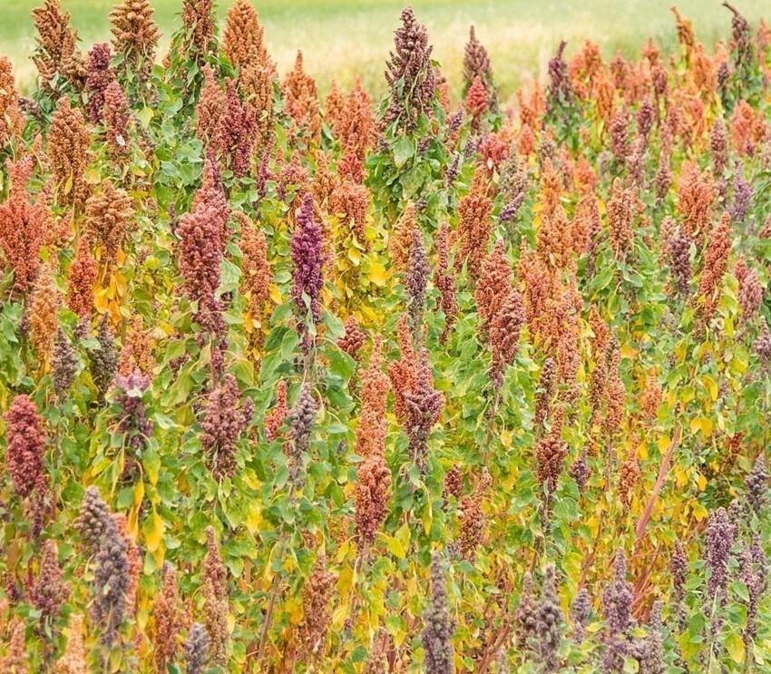 Это растение, которое дает семена  Канива (Канихуа). Chenopodium pallidicaule, известный как cañihua, canihua или canahahua, а также kaniwa, является разновидностью гусиной стопы, а проще говоря - это лебеда