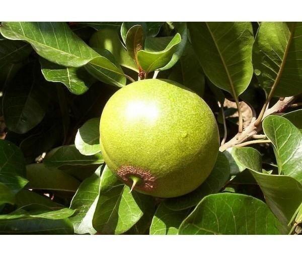 Pouteria lucuma — плодовое дерево, вид растений из рода Путерия, семейства Сапотовые. Лукума представляет собой сладкий плод субтропического дерева, произрастающего на территории Андских долин, Гавайских островов, Коста-Рике и Мексике из него делают