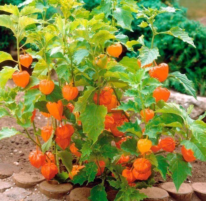 Так растет физалис. Есть множество диких видов, лишь садовые пригодны в пищу