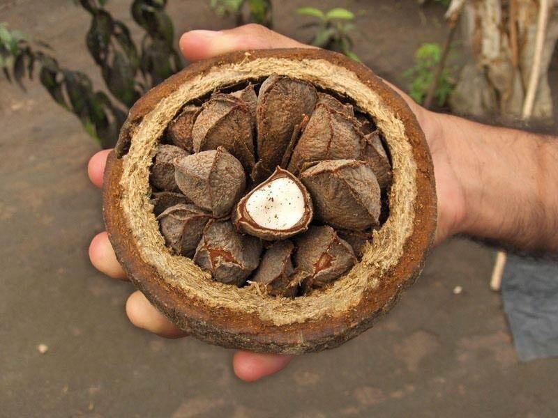 В высоту дерево  достигает 30-45 метров, а диаметр ствола бразильского ореха может быть около двух метров. Это дерево – абсолютный долгожитель. Хотя официально считается, что бартолетия живет только полтысячелетия, бразильцы утверждают, что это дерев