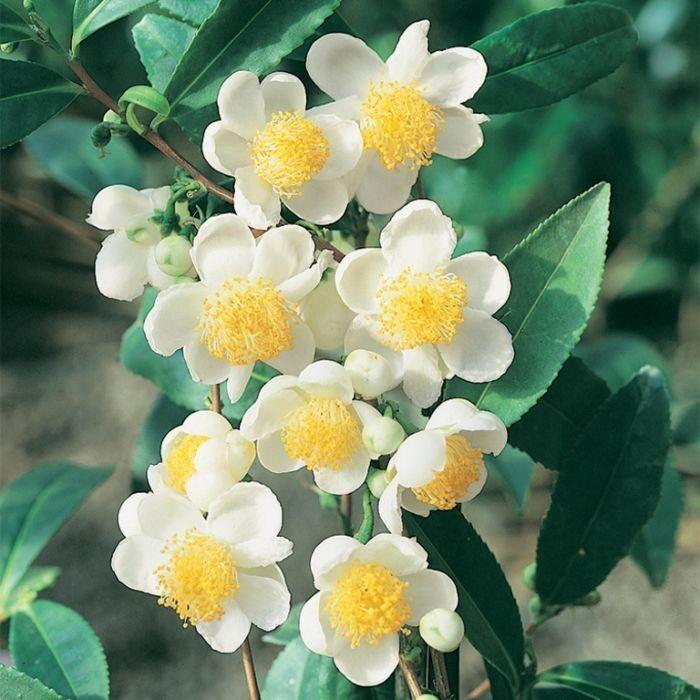 Это Camellia sinensis из которой делают новомодный зеленый японский чай матча (маття). Кстати я, как думаю и многие из вас, впервые о нем слышу