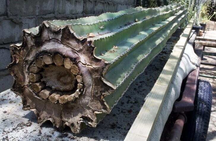 Так кактус выглядит изнутри