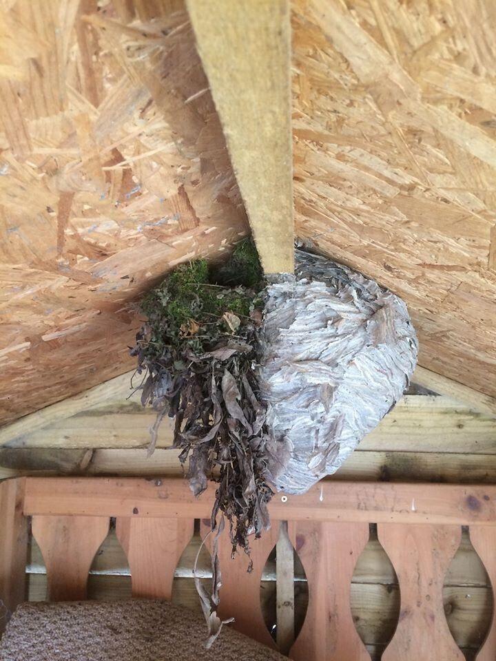 Гнездо птиц и ос. Как вам такое соседство?