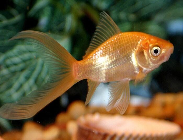 Что помнит золотая рыбка?