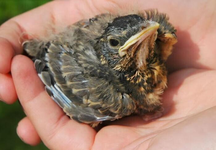 Можно ли сажать птенца в гнездо!