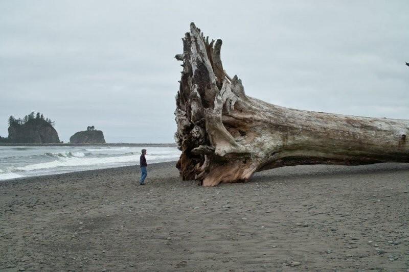 52-метровое дерево, которое выбросило на берег
