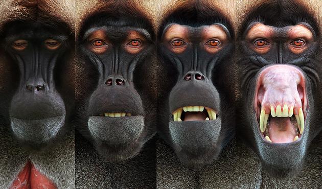 Эпичный переход мимики обезьяны из спокойного состояния в состояние крайней ярости