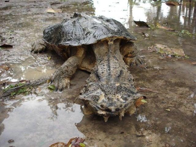 Черепаха Мата-Мата выглядит очень странно