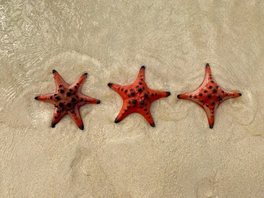 Морские звёзды бывают не только пятиконечные