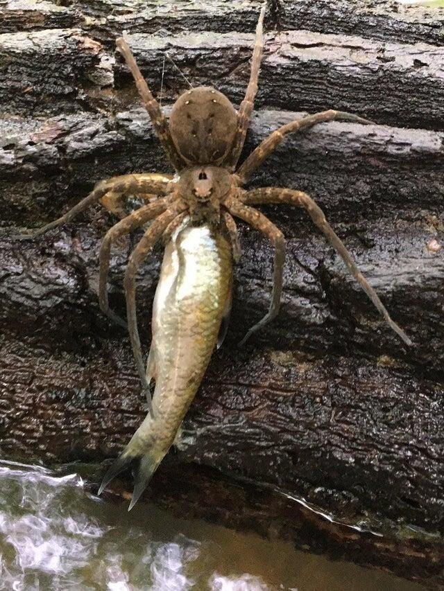 Некоторые пауки могут ловить рыбу