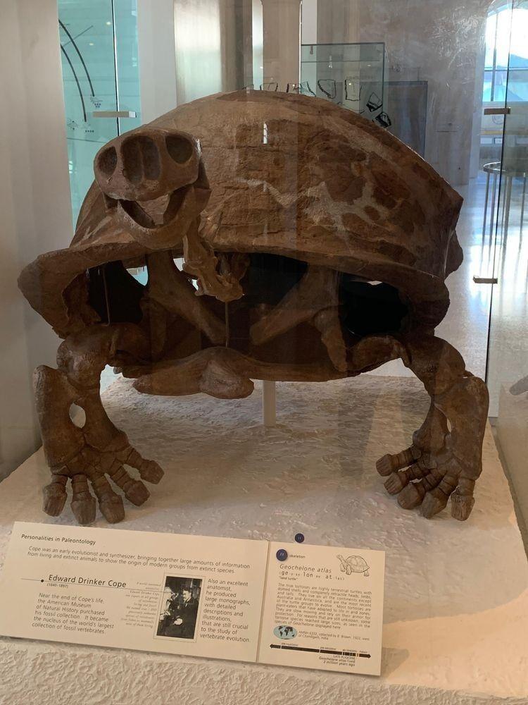 «Весёлый скелет черепахи»