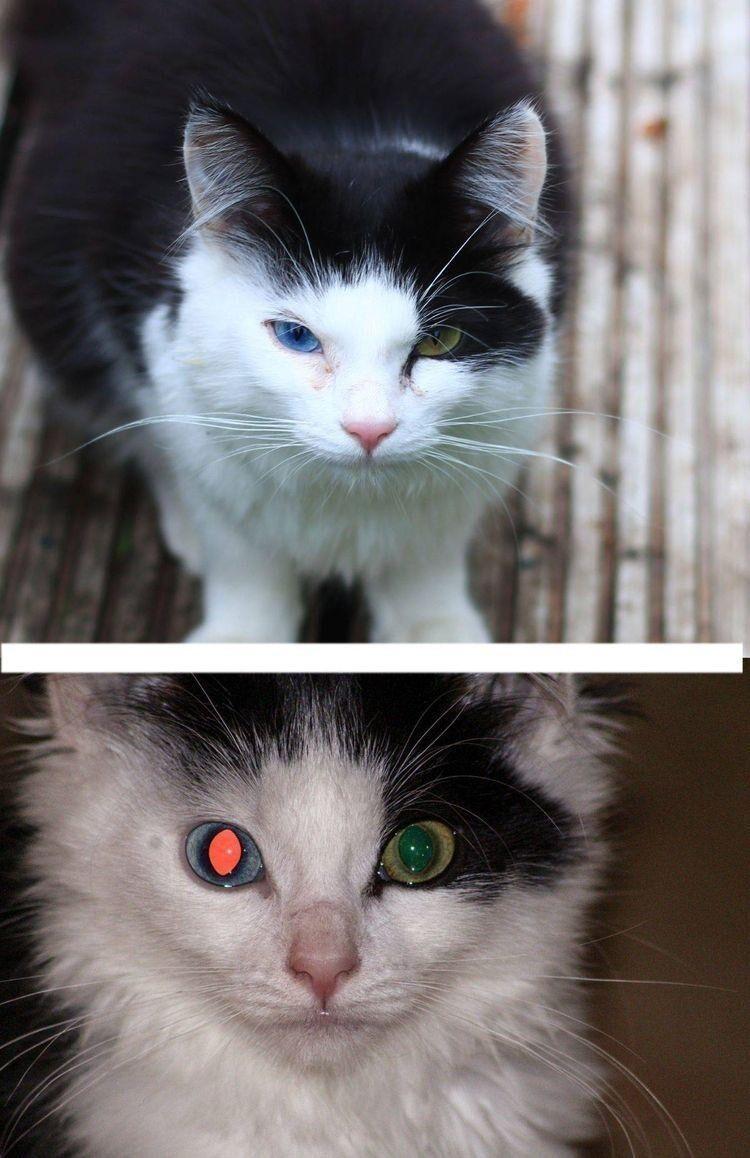«У моего кота Домино гетерохромия, побочный эффект которой заключается в том, что его глаза отражают свет по-разному, заставляя его выглядеть как Терминатор!»