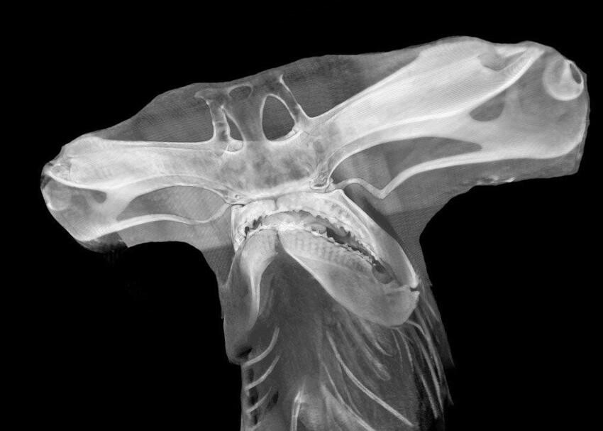Рентген головы рыбы-молота
