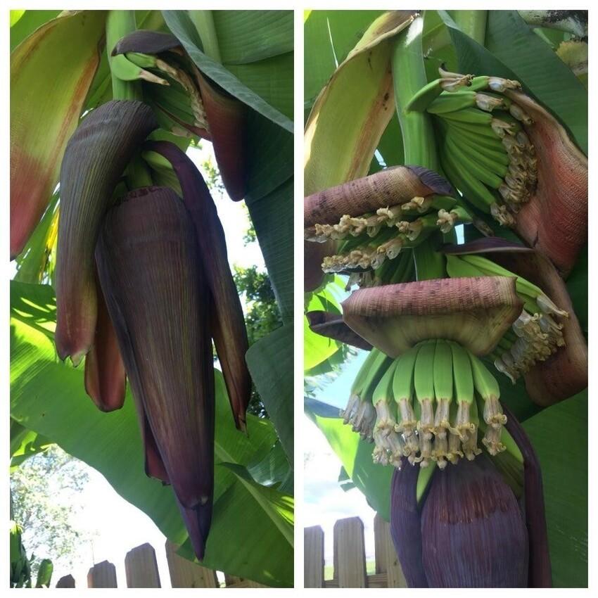 Бананы в начале процесса созревания