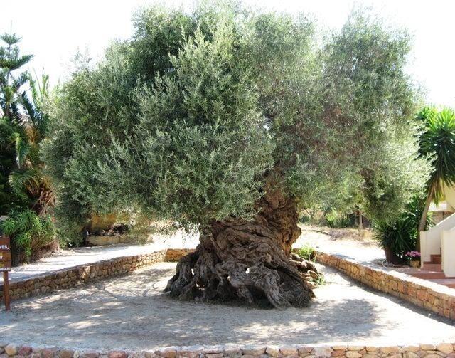 Оливковое дерево на острове Крит, которому 3000 лет, до сих пор даёт плоды