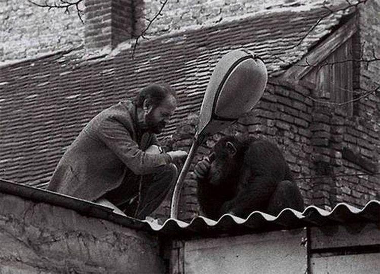 Белград, 1988 год: директор зоопарка уговаривает сбежавшего шимпанзе Сами вернуться