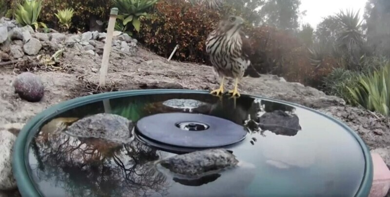 Хищным птицам тоже нужно попить водички
